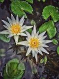 Lotosowy kwiat Fotografia Stock