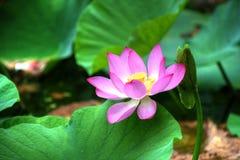 Lotosowy kwiat HDR Fotografia Stock
