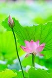 Lotosowy kwiat i kwiatu pączek Fotografia Stock