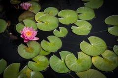 Lotosowy kwiat i Lilypads Zdjęcie Royalty Free