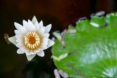Lotosowy kwiat i Lotosowego kwiatu roślina Zdjęcia Stock