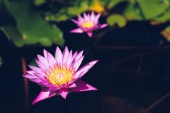 Lotosowy kwiat i Lotosowego kwiatu rośliny Obraz Stock