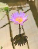 Lotosowy kwiat i Lotosowego kwiatu rośliny Obrazy Stock