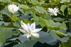 Lotosowy kwiat i Lotosowego kwiatu rośliny Zdjęcia Stock