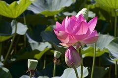 Lotosowy kwiat i Lotosowego kwiatu rośliny Zdjęcie Royalty Free