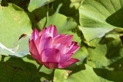 Lotosowy kwiat i Lotosowego kwiatu rośliny Fotografia Stock