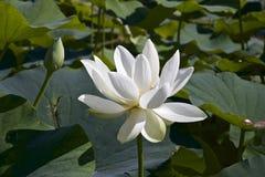 Lotosowy kwiat i Lotosowego kwiatu rośliny Obraz Royalty Free