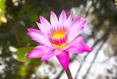 Lotosowy kwiat i Lotosowego kwiatu rośliny Obrazy Royalty Free