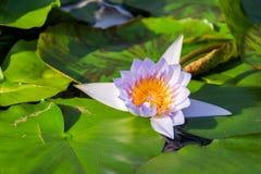 Lotosowy kwiat i Lotosowego kwiatu rośliny Zdjęcie Stock