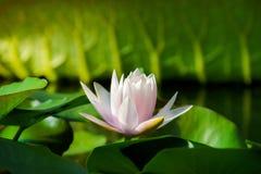 Lotosowy kwiat i Lotosowego kwiatu rośliny Fotografia Royalty Free