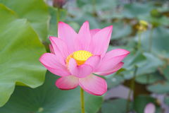 Lotosowy kwiat i Lotosowego kwiatu rośliny Zdjęcia Royalty Free