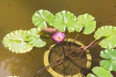 Lotosowy kwiat i Lotosowy kwiat Obraz Stock