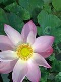 Lotosowy kwiat i swój zieleni liście fotografia royalty free