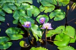 Lotosowy kwiat, India obrazy royalty free