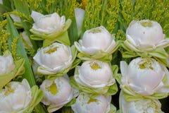 Lotosowy kwiat jest jeden kwiaty które zaludniają są popularni dookoła świata obraz royalty free