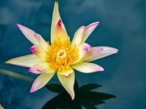 Lotosowy kwiat kwitnie Zdjęcia Royalty Free