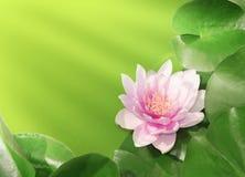 Lotosowy kwiat na s?onecznym dniu obraz stock