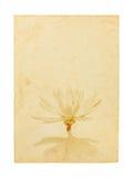 Lotosowy kwiat na starym papierze odizolowywającym na białym tle royalty ilustracja