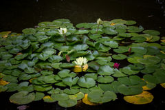 Lotosowy kwiat na tle liście 001 Zdjęcie Royalty Free