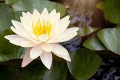 Lotosowy kwiat na wodnym garnku fotografia stock
