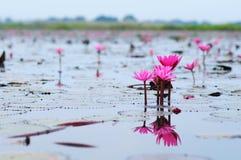 Lotosowy kwiat na wodzie  Fotografia Royalty Free