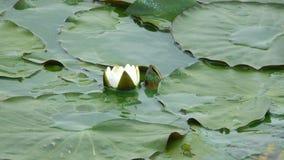 Lotosowy kwiat na wodzie zdjęcie wideo