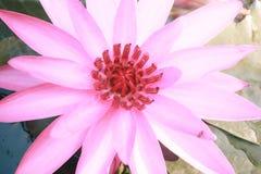 Lotosowy kwiat na wodzie w ogródzie fotografia stock