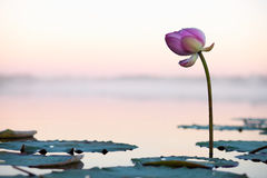 Lotosowy kwiat na zmierzchu Zdjęcia Stock