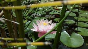 Lotosowy kwiat, Nelumbo nucifera/ Zdjęcie Royalty Free