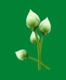 Lotosowy kwiat odizolowywający na zielonym tle obrazy royalty free