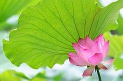 Lotosowy kwiat pod lotosowym liściem Zdjęcie Royalty Free