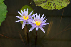 Lotosowy kwiat: Purpury fotografia royalty free