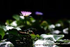 Lotosowy kwiat samodzielny w basenie Obraz Royalty Free