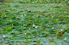 Lotosowy kwiat, Srí Lanka Zdjęcia Royalty Free