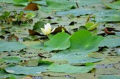 Lotosowy kwiat, Srí Lanka Fotografia Stock
