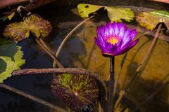 Lotosowy kwiat w buddyzmu Fotografia Stock