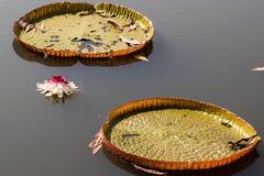 Lotosowy kwiat w buddyzmu Zdjęcia Royalty Free