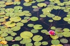 Lotosowy kwiat w buddyzmu Zdjęcia Stock