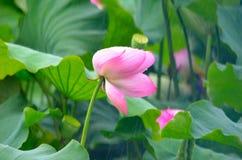 Lotosowy kwiat w deszczu Fotografia Royalty Free