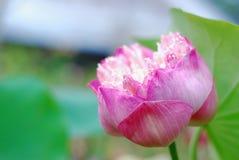 Lotosowy kwiat w ogródzie obraz stock