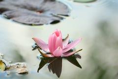 Lotosowy kwiat w pięknej naturze fotografia royalty free