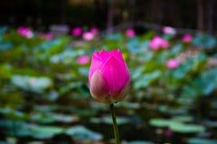 Lotosowy kwiat w stawie Zdjęcia Royalty Free
