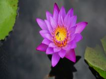 Lotosowy kwiat z insektami obraz stock