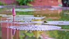 Lotosowy kwiat z liśćmi i purpurowymi lotosowego kwiatu roślinami, wodnej lelui lotosowego kwiatu okwitnięcia na odbiciu woda upr Fotografia Royalty Free