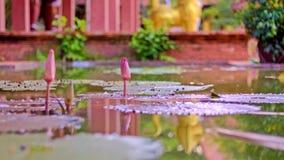 Lotosowy kwiat z liśćmi i purpurowymi lotosowego kwiatu roślinami, wodnej lelui lotosowego kwiatu okwitnięcia na odbiciu woda upr Fotografia Stock