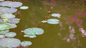 Lotosowy kwiat z liśćmi i purpurowymi lotosowego kwiatu roślinami, wodnej lelui lotosowego kwiatu okwitnięcia na odbiciu woda upr Obraz Royalty Free