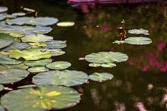 Lotosowy kwiat z liśćmi i purpurowymi lotosowego kwiatu roślinami, wodnej lelui lotosowego kwiatu okwitnięcia na odbiciu woda upr Zdjęcia Royalty Free