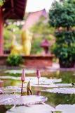 Lotosowy kwiat z liśćmi i purpurowymi lotosowego kwiatu roślinami, wodnej lelui lotosowego kwiatu okwitnięcia na odbiciu woda upr Zdjęcie Stock