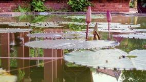Lotosowy kwiat z liśćmi i purpurowymi lotosowego kwiatu roślinami, wodnej lelui lotosowego kwiatu okwitnięcia na odbiciu woda upr Zdjęcie Royalty Free