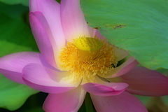 Lotosowy kwiat z marzycielskim skutkiem Obraz Stock